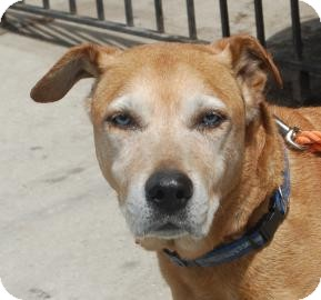 German Shepherd Dog/Labrador Retriever Mix Dog for adoption in Brooklyn, New York - Trivette