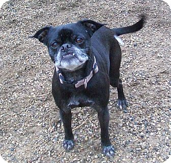 Pug/Boston Terrier Mix Dog for adoption in Fennville, Michigan - Ellie