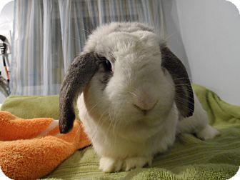 Lop-Eared Mix for adoption in Hillside, New Jersey - Maxwell