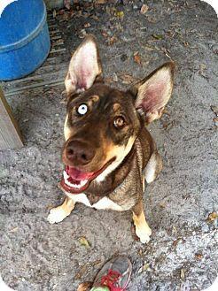 Behr Adopted Dog Groveland FL HuskyDoberman
