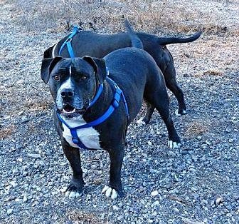American Pit Bull Terrier Dog for adoption in Lompoc, California - Diesel