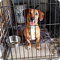 Adopt A Pet :: Capone - Lubbock, TX