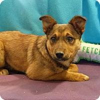 Adopt A Pet :: Shasta Ann - Vacaville, CA