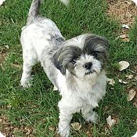 Adopt A Pet :: Miley - Helotes, TX