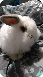 Lionhead Mix for adoption in Conshohocken, Pennsylvania - Pinky
