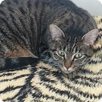 Adopt A Pet :: Lux - El Cajon, CA