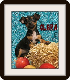 Dachshund/Chihuahua Mix Puppy for adoption in Tracy, California - CLARA