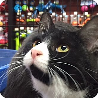 Domestic Shorthair Cat for adoption in Toronto, Ontario - Trixie