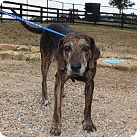 Plott Hound Dog for adoption in Lawrenceville, Georgia - Eve