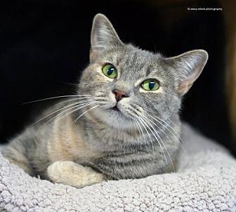 Domestic Shorthair Cat for adoption in Tucson, Arizona - Arbie