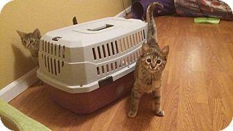 Domestic Shorthair Kitten for adoption in Maryville, Missouri - Morta