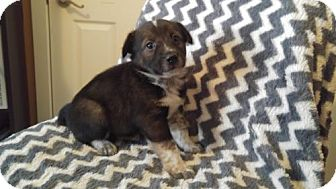 Australian Cattle Dog Mix Puppy for adoption in Princeton, Minnesota - Raven