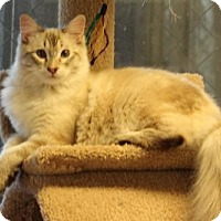 Siamese Cat for adoption in Morgan Hill, California - Constantine