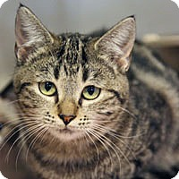 Domestic Shorthair Cat for adoption in Pacific Grove, California - Mehitabel