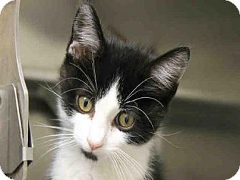 Domestic Mediumhair Cat for adoption in Decatur, Illinois - CLIFTON