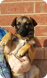 Shepherd (Unknown Type)/Jack Russell Terrier Mix Puppy for adoption in Summerville, South Carolina - Scully