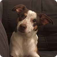 Adopt A Pet :: Bootzie - Willingboro, NJ