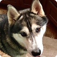Siberian Husky Dog for adoption in Memphis, Tennessee - LOKI ~ DONATIONS NEEDED!