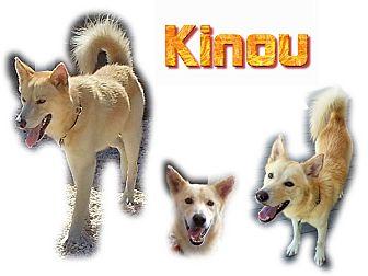 Siberian Husky Dog for adoption in Seminole, Florida - Kinou