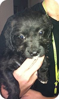 Labradoodle Mix Puppy for adoption in Nuevo, California - Nubi