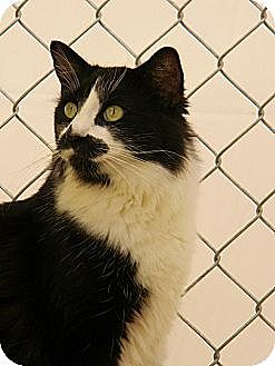 Domestic Mediumhair Cat for adoption in Chico, California - Destiny