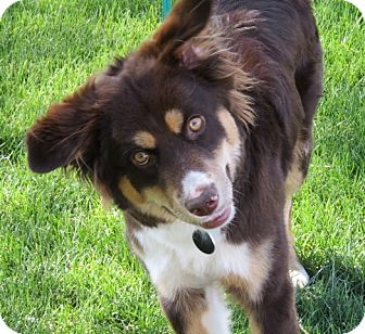 Australian Shepherd Mix Puppy for adoption in Scottsdale, Arizona - Cassie