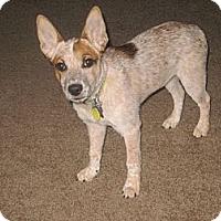 Adopt A Pet :: Tess (adoption pending) - Phoenix, AZ