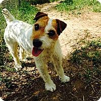 Adopt A Pet :: Little Debbie in Dallas - Dallas/Ft. Worth, TX