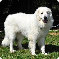 Adopt A Pet :: Joe - Indian Trail, NC