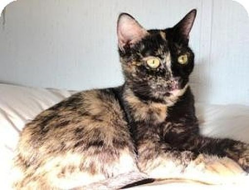 Domestic Shorthair Cat for adoption in Stuart, Virginia - Sonya