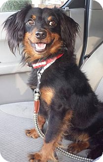 Dachshund Mix Dog for adoption in Iroquois, Illinois - Scooter
