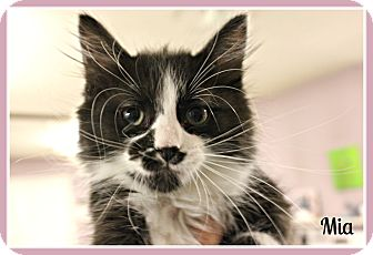 Domestic Mediumhair Kitten for adoption in New Richmond,, Wisconsin - Mya