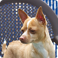Adopt A Pet :: Charger - Chula Vista, CA