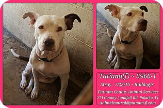 American Bulldog Mix Dog for adoption in Jacksonville, Florida - Tatiana