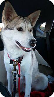 Siberian Husky Mix Dog for adoption in Cavan, Ontario - Kounai