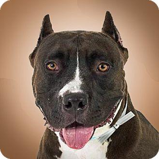 American Staffordshire Terrier Mix Dog for adoption in Prescott, Arizona - Dallas