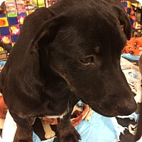 Adopt A Pet :: Dakota - Warrenton, MO