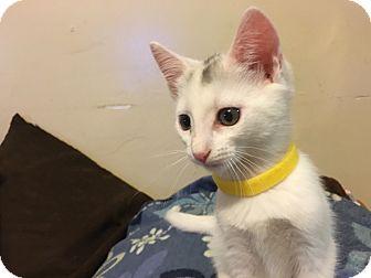 Domestic Mediumhair Kitten for adoption in New York, New York - Heather McNamara