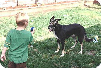 German Shepherd Dog/Border Collie Mix Dog for adoption in Pleasant Grove, California - Ace