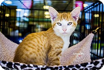 Domestic Shorthair Kitten for adoption in Mooresville, North Carolina - A..  Bryce