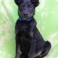 Adopt A Pet :: CARMINE - Westminster, CO