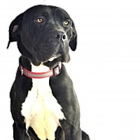 Adopt A Pet :: Brutus - Goodyear, AZ