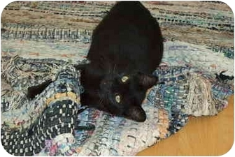 Domestic Shorthair Cat for adoption in Montreal, Quebec - Mooglie