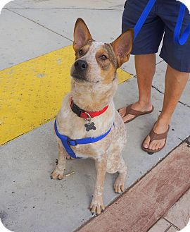 rat terrier australian cattle dog mix homestead fl australian cattle dog rat terrier mix 5367
