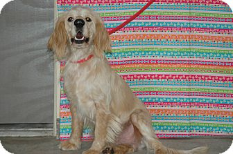 Cocker Spaniel Dog for adoption in san antonio, Texas - Fraggle