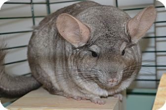 Chinchilla for adoption in Patchogue, New York - Apple