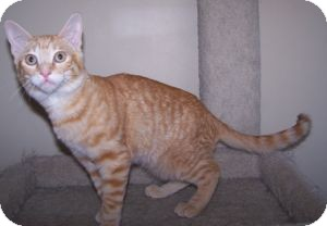 Domestic Shorthair Kitten for adoption in Colorado Springs, Colorado - K-Sophie-Hoboken