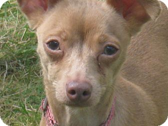 Chihuahua Mix Dog for adoption in Tumwater, Washington - Millie