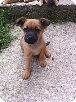 Black Mouth Cur/Boxer Mix Puppy for adoption in Glastonbury, Connecticut - LITTLE BEE