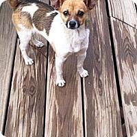 Adopt A Pet :: Mugsy - Fountain, CO
